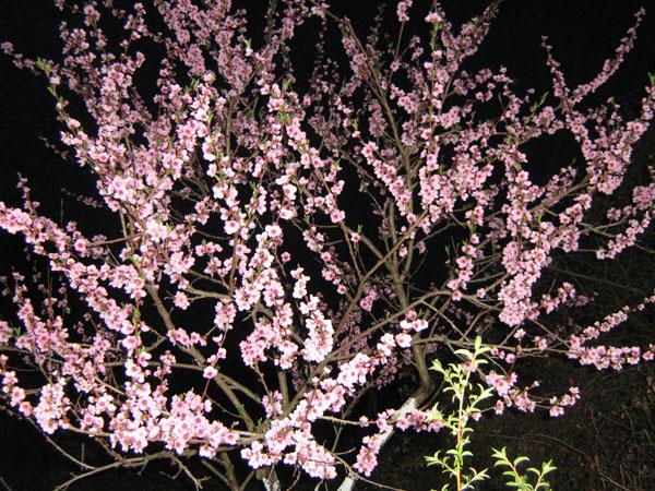 Weinbergpfirsich Baum am Abend hier bei Zimmer Gutscheine