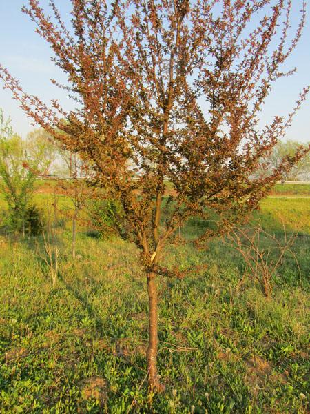 Blutpflaume als Baumpatenschaft hier bei Baum-Pate